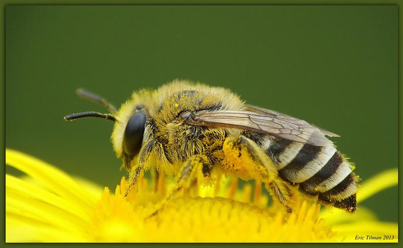 Western honey bee / Honingbij / Apis mellifera