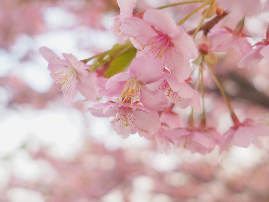 気になる桜の開花予想と京都のお花見スポット