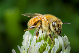 New Zealand honey bee on clover by Andy Murray, on flickr