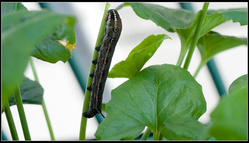 雙斜紋天蛾-幼蟲-P8200060 (1)