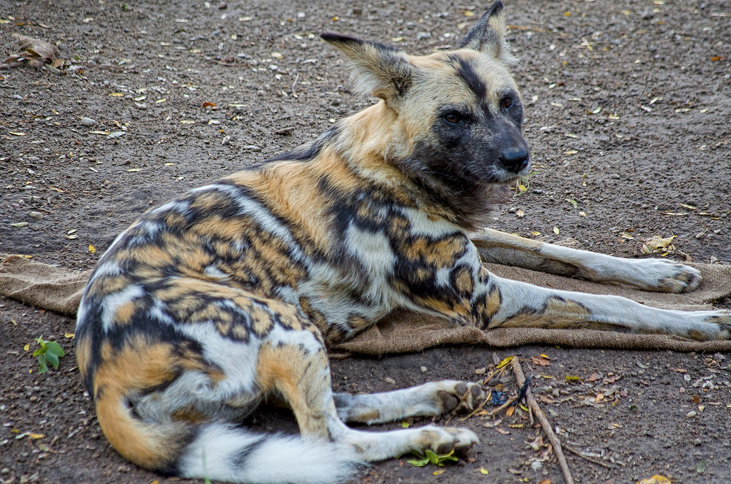 African Wild Dog An African Wild Dog Or Spotted Wild Dog