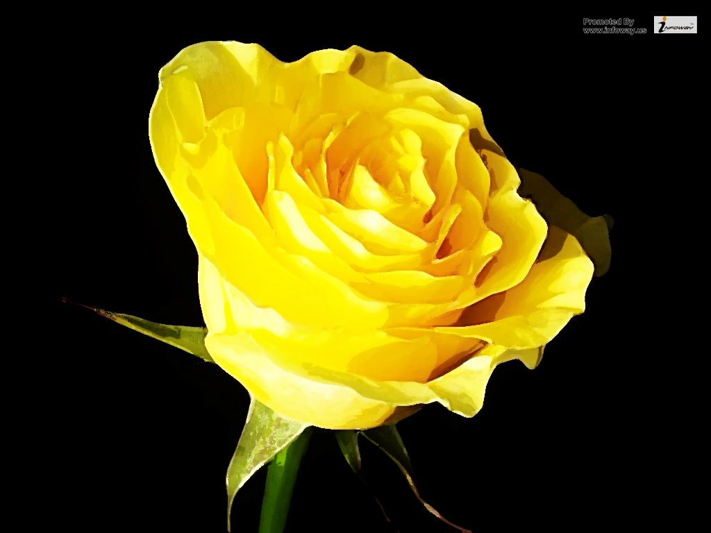 Yellow rose in black background wallpaper | Yellow rose in ...