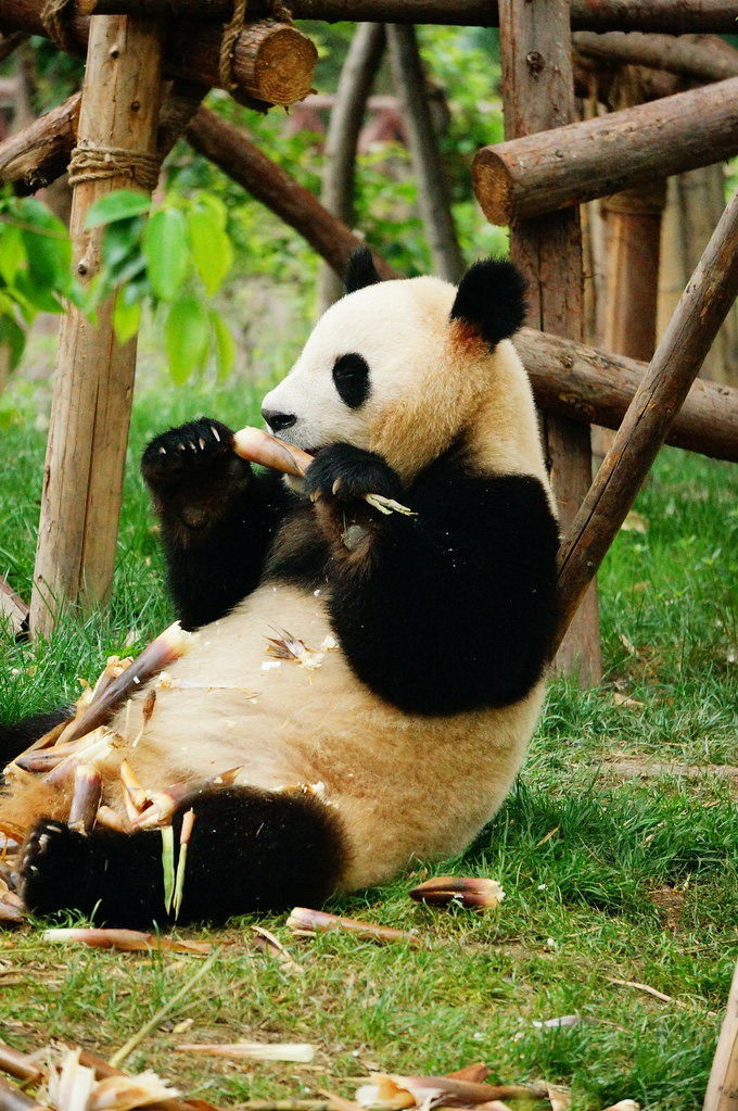 Image result for panda eating