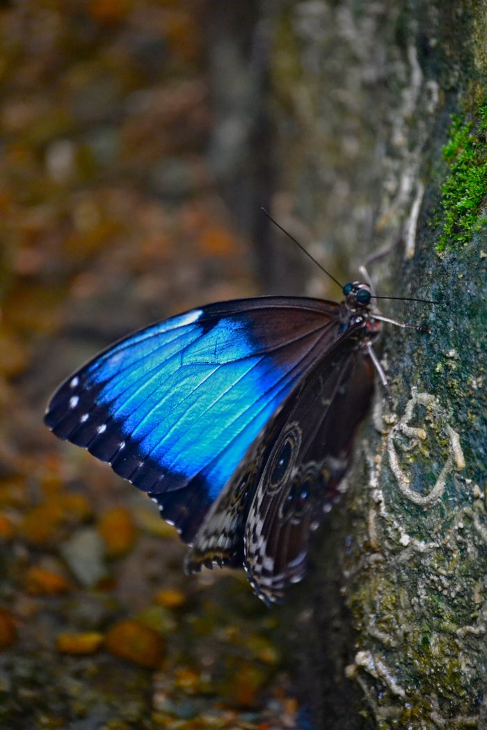 25 Fantastic Reasons To Pack Your Bags And Visit Blue Osa Right Now Morpho Butterfly