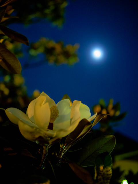 Magnolia and moon