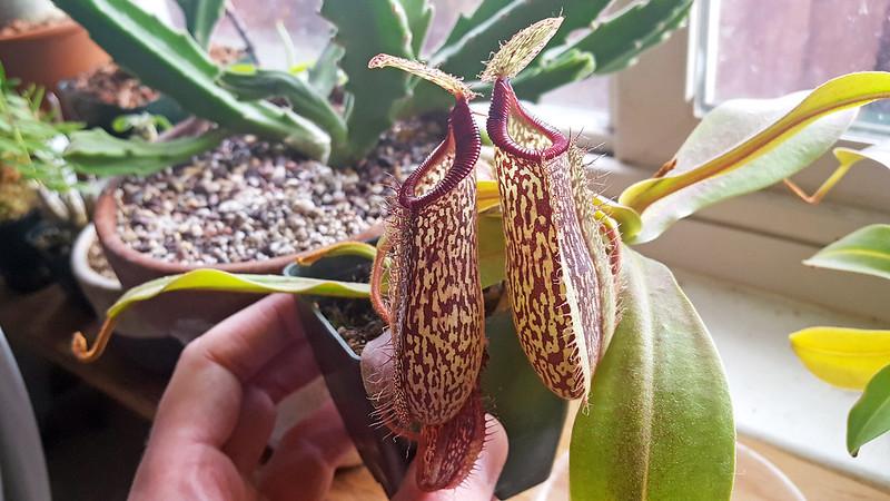 Nepenthes hamata x platychila.
