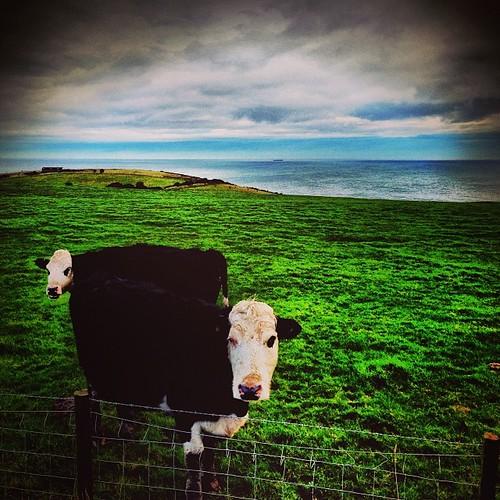 Two-headed cow.  #blog #blogger #blogging ©http://laurasdiatribe.blogspot.co.uk #cow #cows #sea