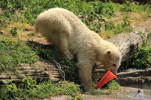Eisbär Fiete im Zoo Rostock  98