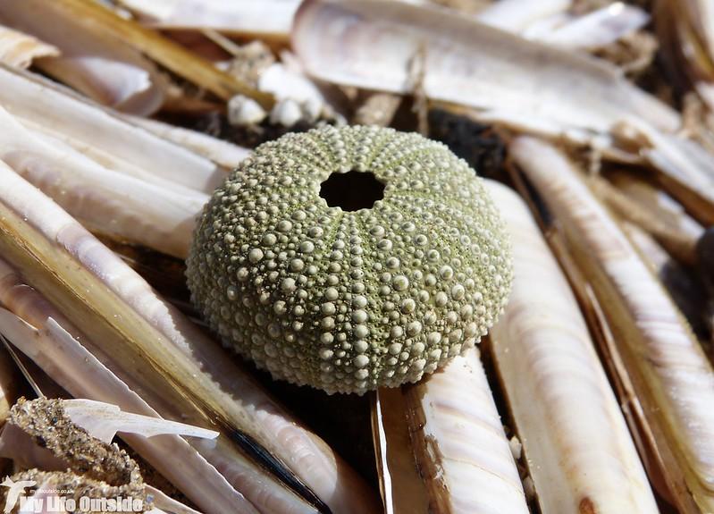 P1130602 - Sea Urchin, RSPB Titchwell