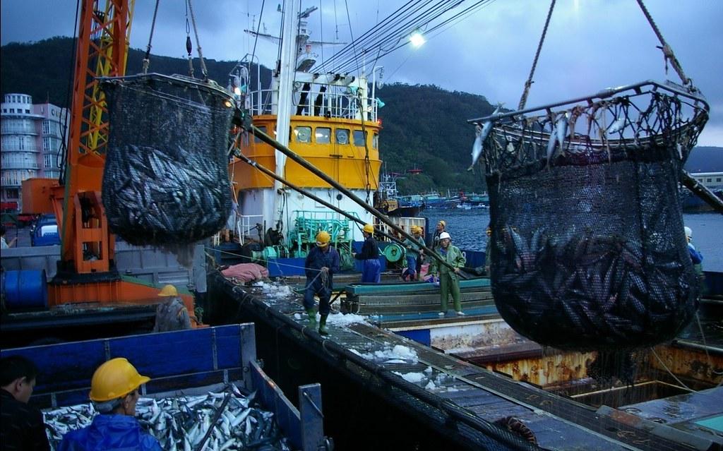 「鯖、鰺」類每年約4~5 萬公噸漁獲,佔全國同類總產量90%以上;且佔南方澳漁業年總產值(約30億)30%強,南方澳因此被稱為「鯖魚的故鄉」。圖片來源:廖大瑋。