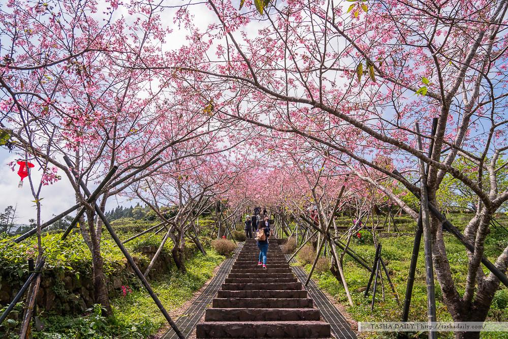 鹿谷旅遊︱台大茶園 河津櫻粉嫩階梯隧道.落櫻繽紛的春意盎然
