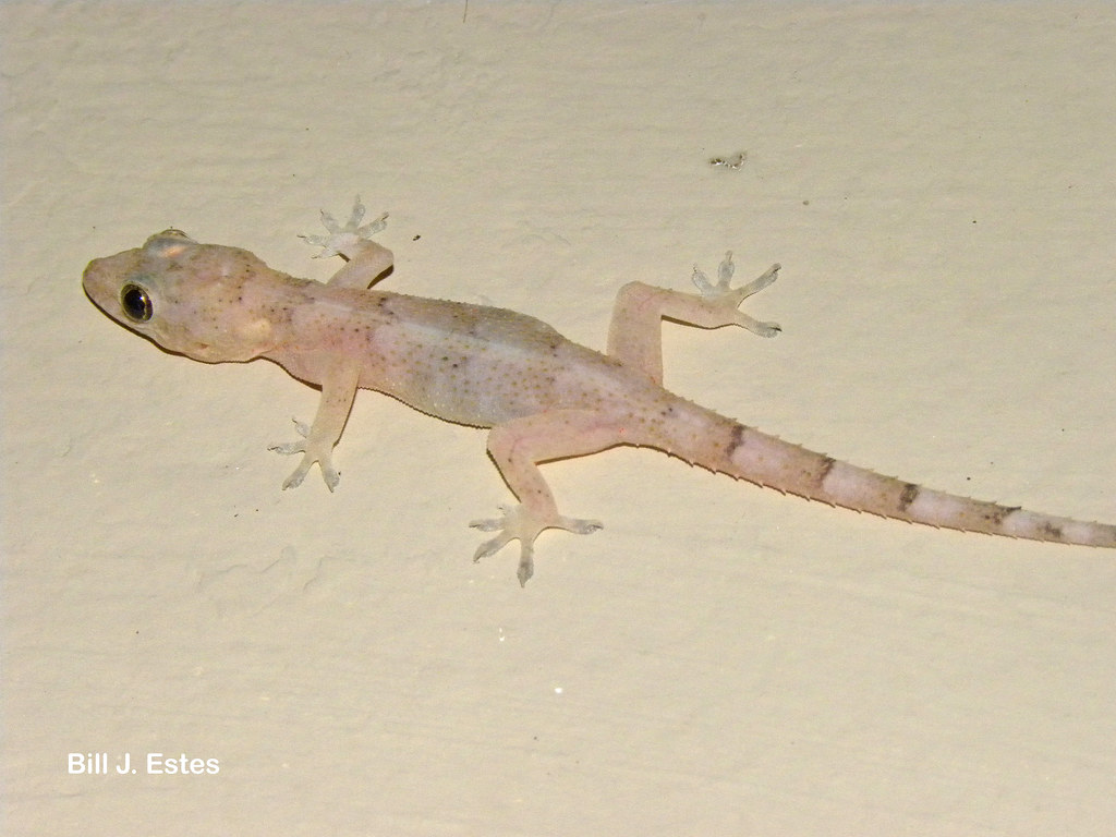 florida gecko images - reverse search