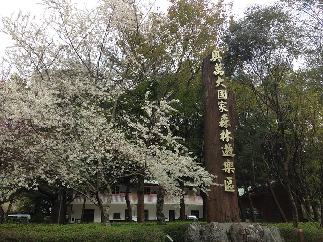 奧萬大的春天,霧社櫻花盛開。