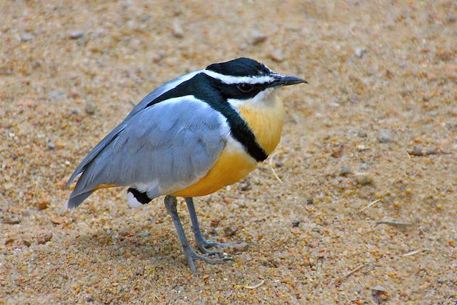 Egyptian plover bird and crocodile - photo#27