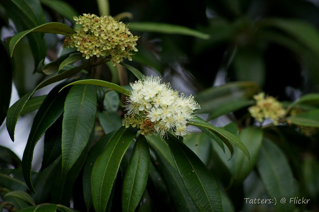 Lemon myrtle (Backhousia citriodora) | Found on a private ...