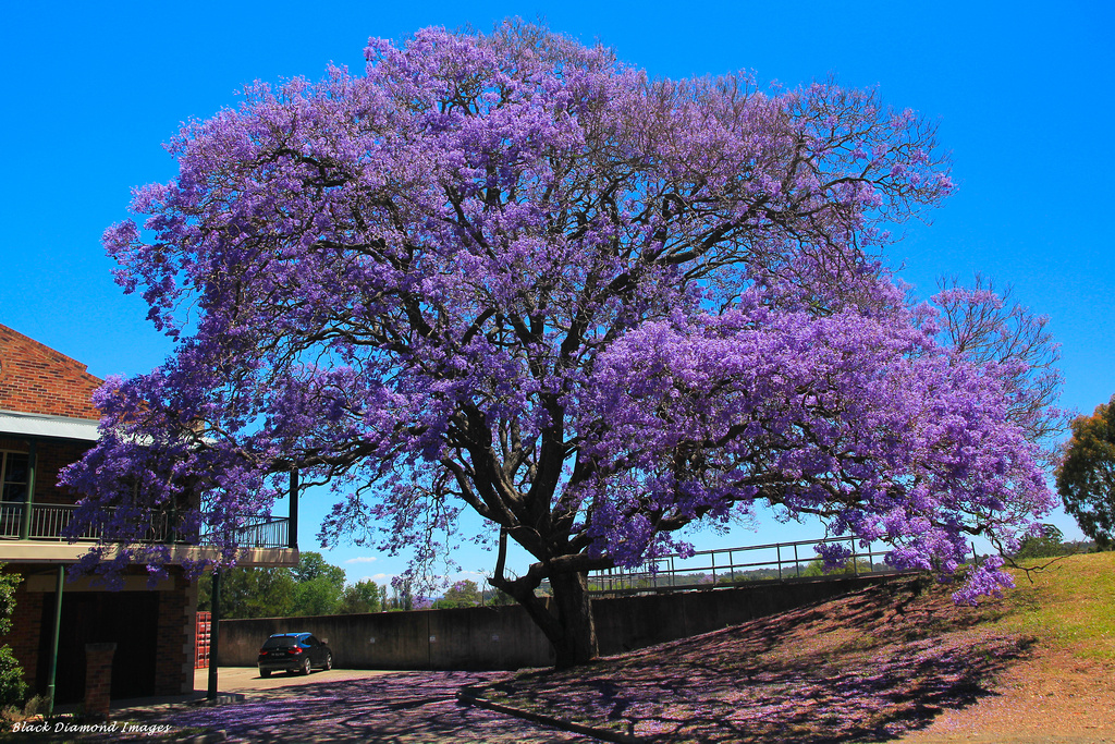Jacaranda mimosifolia - Jacaranda, Civic Park, Singleton ...