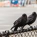 Synchronized Crows