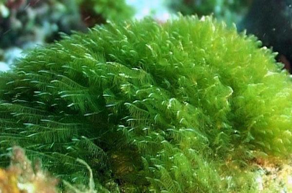 Спирулина (Spirulina), фото фотография полезные растения
