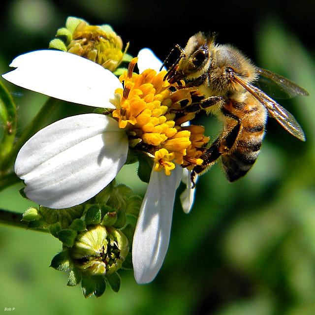Honey Bee on Spanish Needles