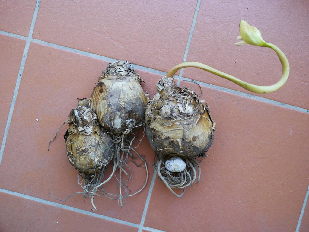 Amaryllis belladonna bulbs i had left the amaryllis for Bulbes amaryllis belladonna