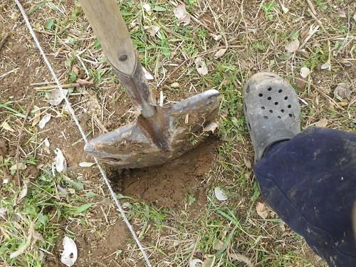 ジャガイモ2.定植穴をスコップで開ける
