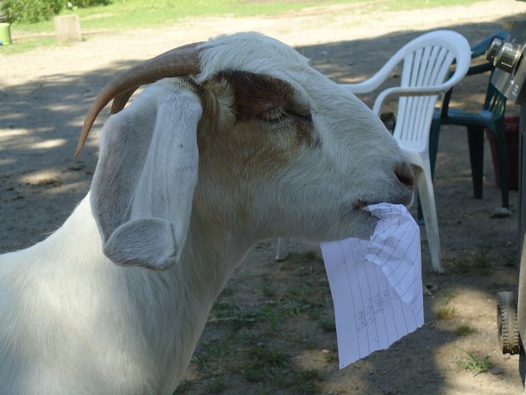 Goat Eating Paper Meg Stewart Flickr