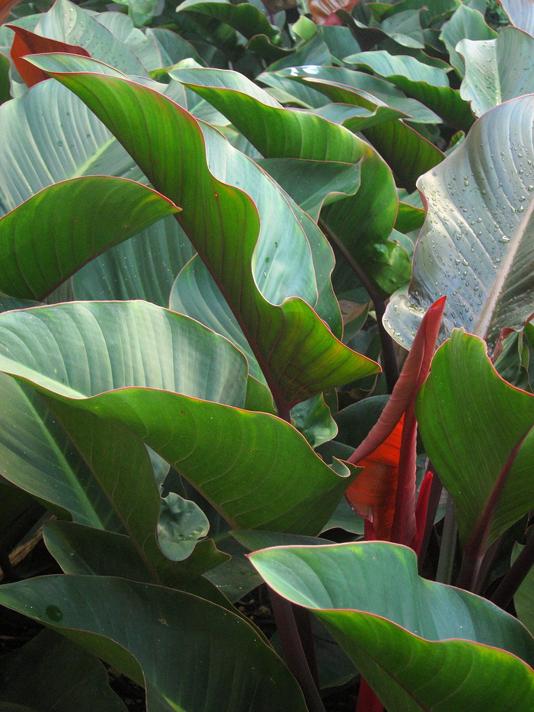 Filodendro imperial IMG_3415 | Philodendron imperial red ...