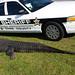 800+ pound alligator struck and killed