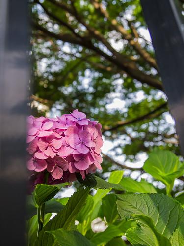 Hydrangea (Shinjuku Central Park)