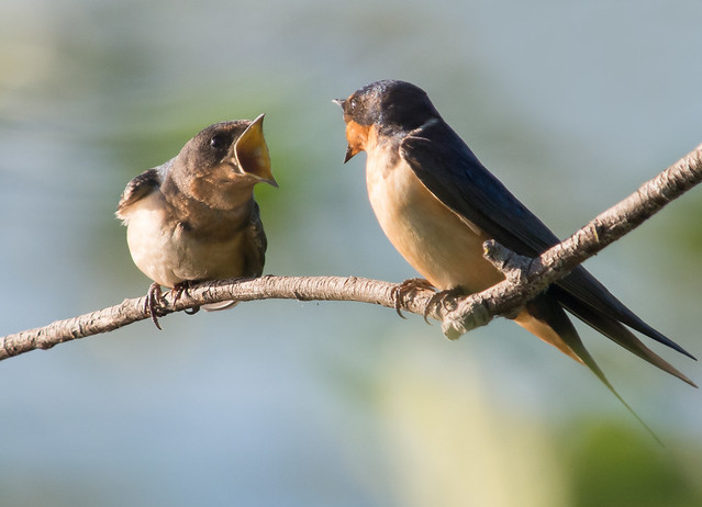 Fledged Barn Swallow