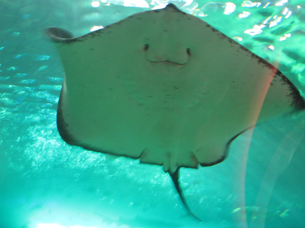 happy looking sting ray marly jane flickr. Black Bedroom Furniture Sets. Home Design Ideas
