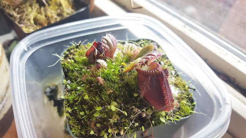 Cephalotus follicularis in a windowsill.