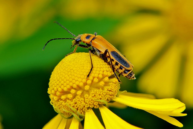 The goldenrod soldier beetleGoldenrod Soldier Beetle