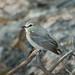 Maria-da-praia (Ochthornis littoralis)