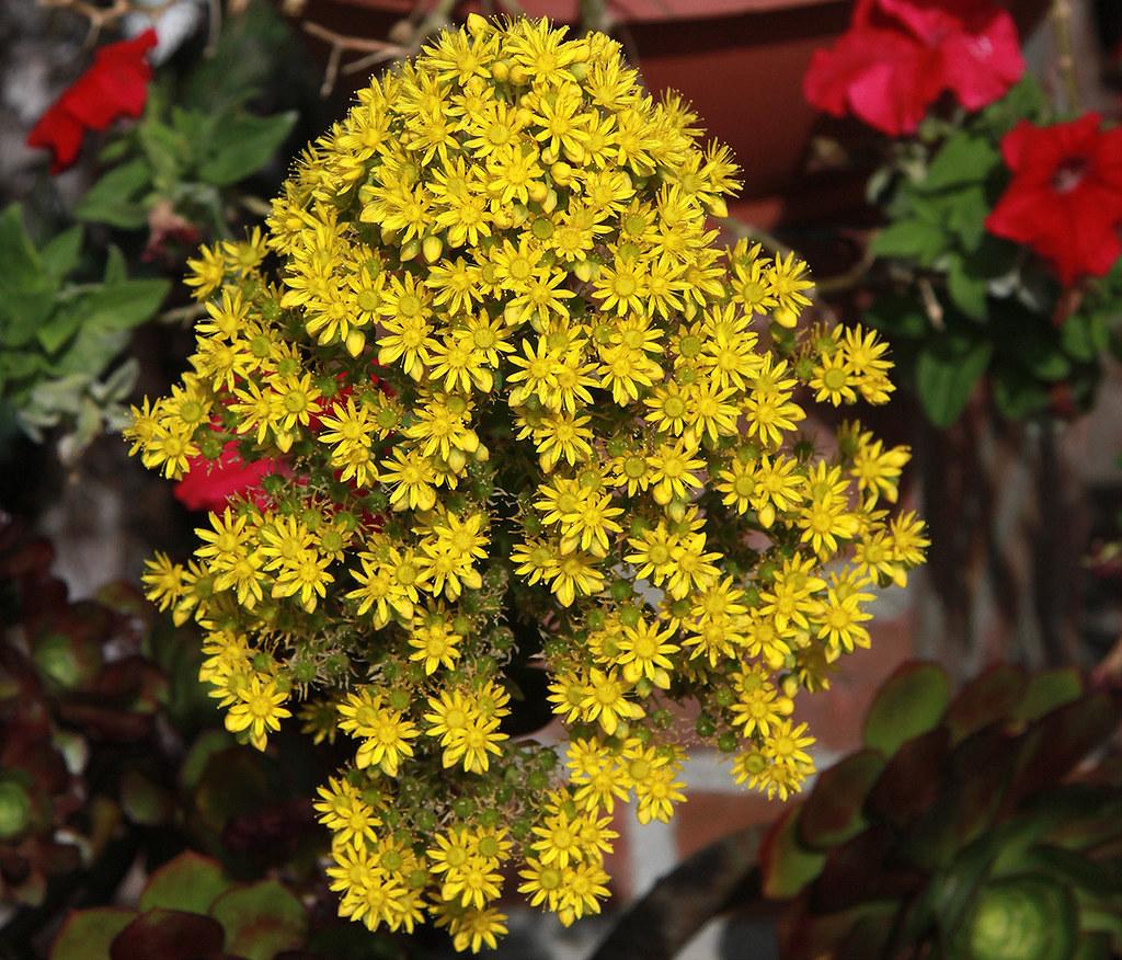 Tiny Plant Yellow Flower Cluster On A Aeonium Arboreum Succulent
