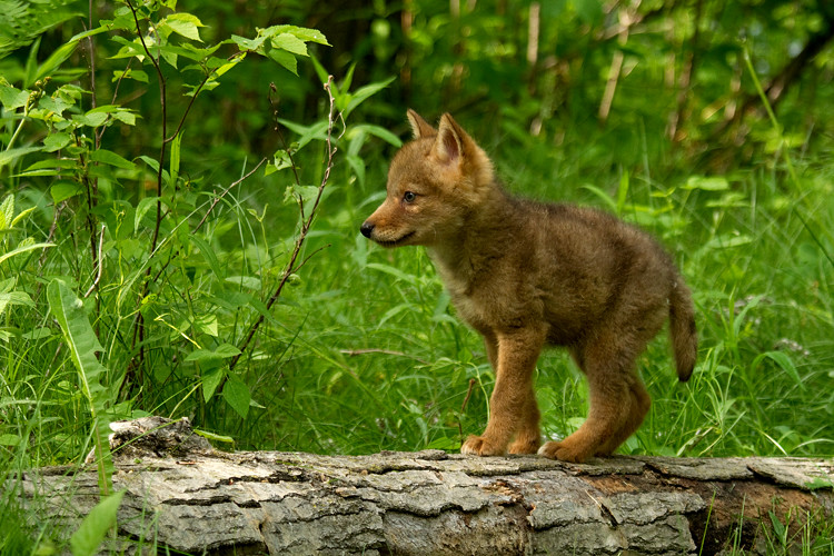 baby coyotes picture - 735×490