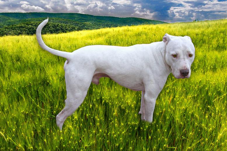 HDR White Pit Bull Dog...