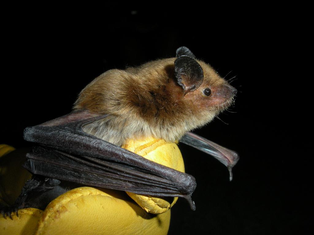 大褐蝙蝠。(圖:ErinAdventure)