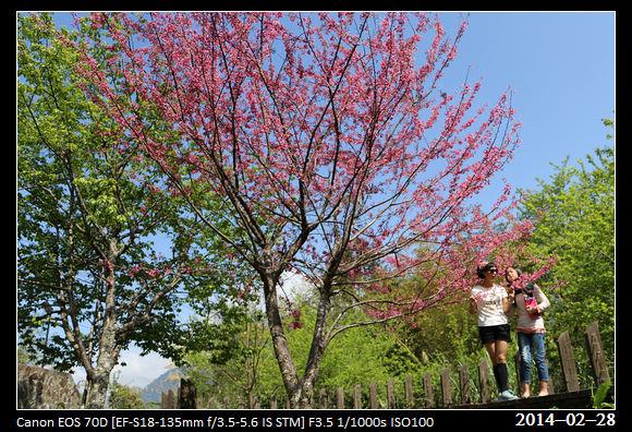 20140228_CherryBlossom1