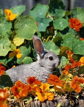 Best Rabbit Repellent Rabbits Are Adorable Creatures For R Flickr