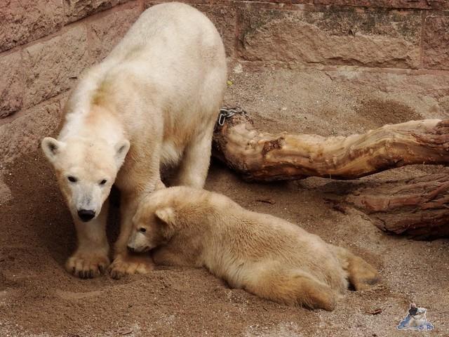 Eisbär Fiete im Zoo Rostock 14.06.2015  49