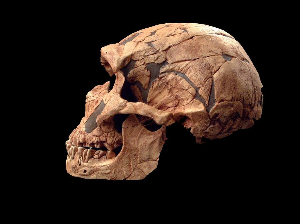hominid skull set homo neanderthalensis laferrassie 1 004