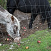 Jenna's Horses Eating Apple Drops