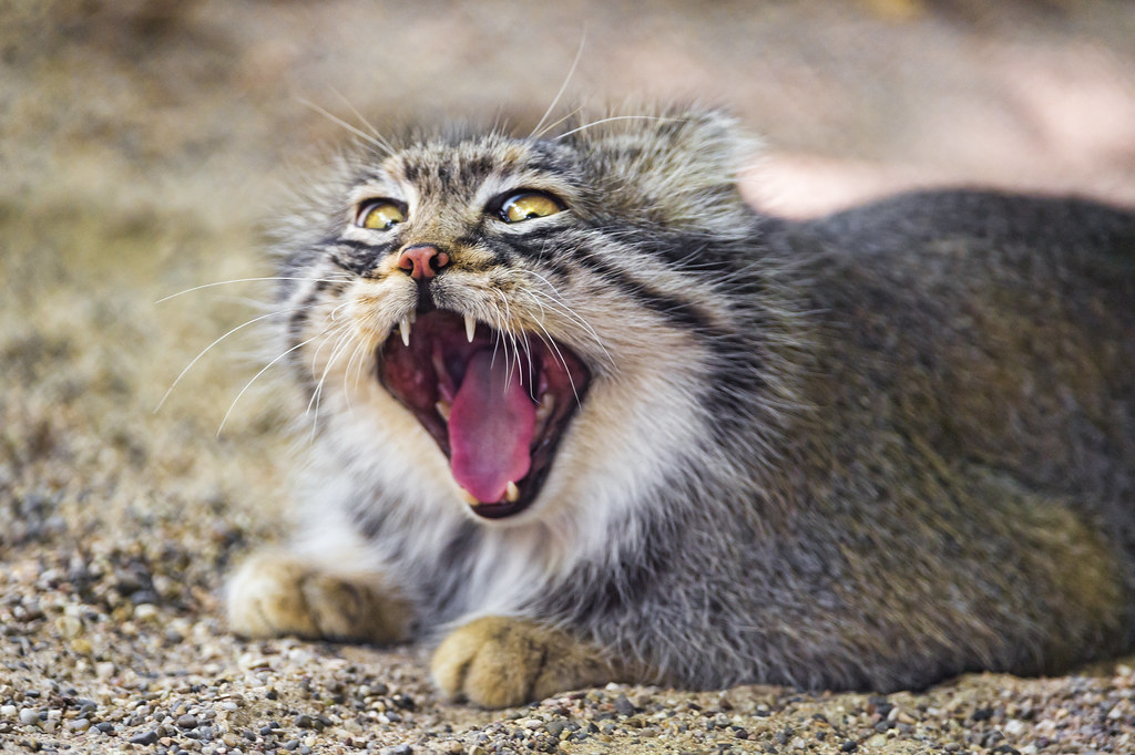 Pallas Cat Video Camera