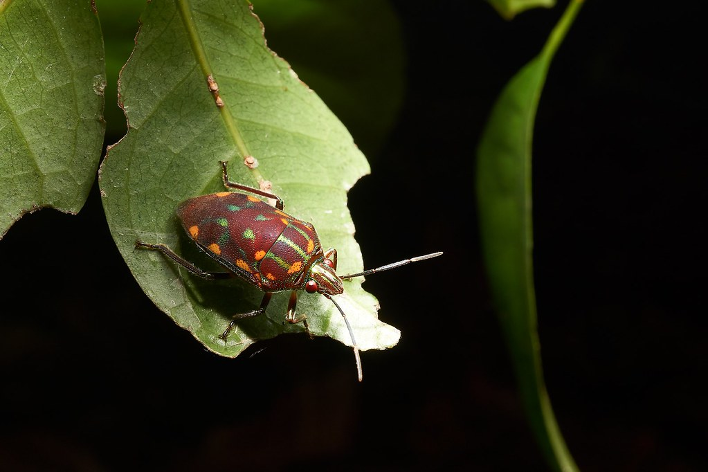 Insects R Gone Jewel Bug (Scut...