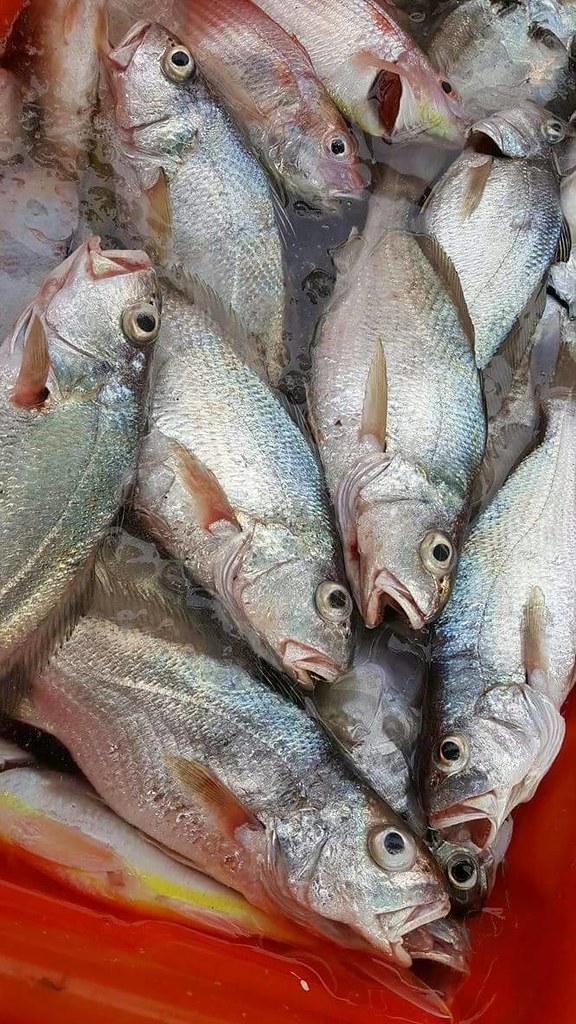 網獲的石首魚在魚頭後方會有明顯的漁網勒痕。圖片來源:白尚儒。