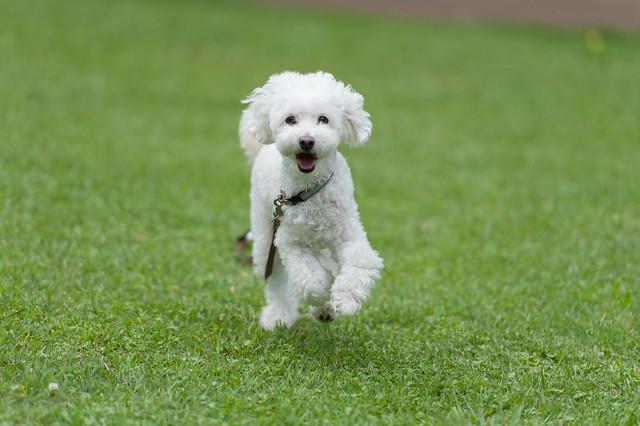 dog-breed-month-poodle