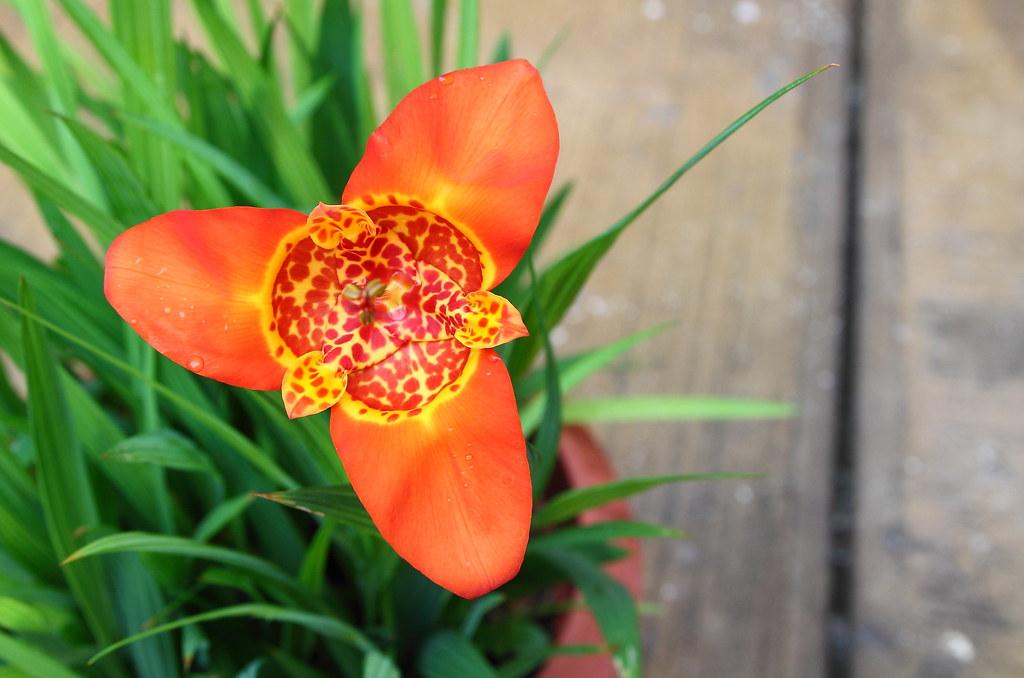 tigridia pavonia - oceloxochitl