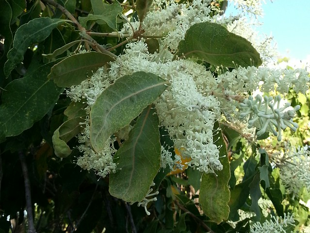 woody pear flowers