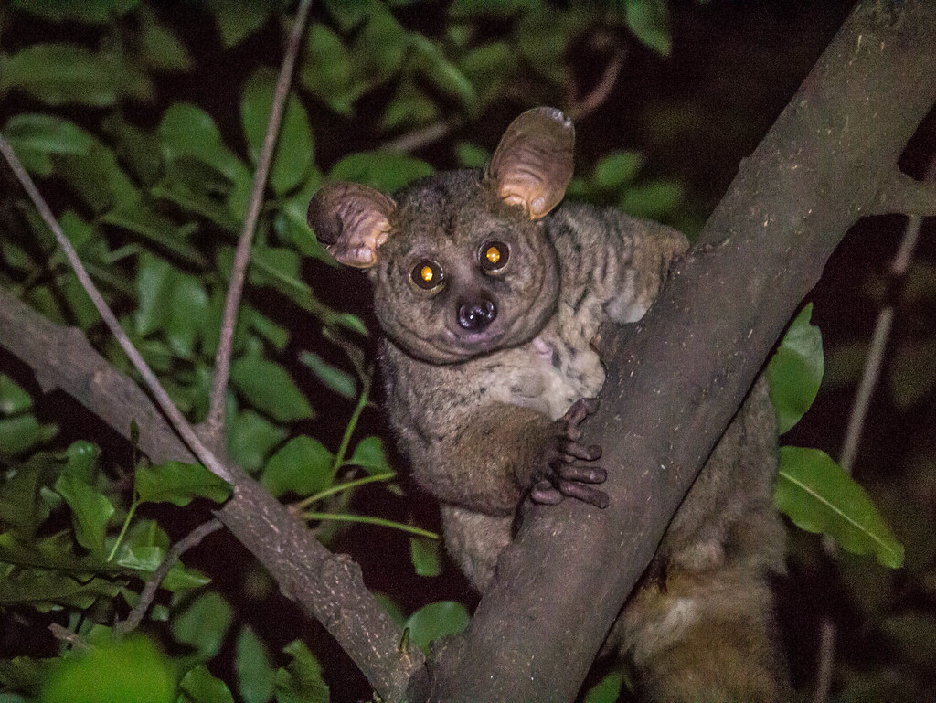 Bush baby at night in Kruger National Park, South Africa ...